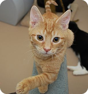 Bensalem Pa Domestic Shorthair Meet Orange Tabby Baby A Pet For Adoption