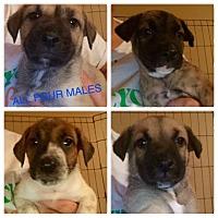 Adopt A Pet :: Karma's Puppies - Long Beach, CA