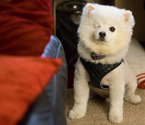 Eureka Ca American Eskimo Dog Meet Beau A Pet For Adoption