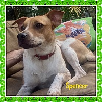 Basenji/Sheltie, Shetland Sheepdog Mix Puppy for adoption in HAGGERSTOWN, Maryland - SPENCER