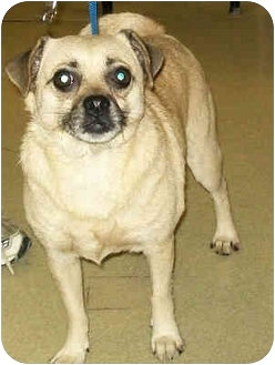 Pug Mix Dog for adoption in Murphysboro, Illinois - Sarina