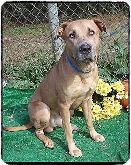 German Shepherd Dog/Labrador Retriever Mix Dog for adoption in Marietta, Georgia - BLU