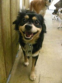 Chihuahua/Pomeranian Mix Dog for adoption in Fairfax Station, Virginia - Spanky