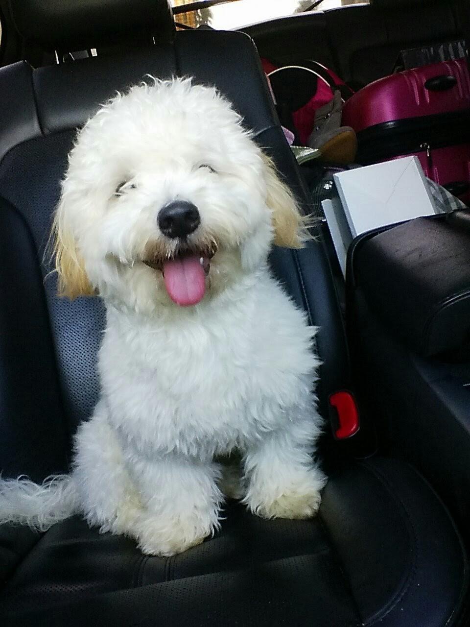 Hollywood, CA - Maltese. Meet Sir Winston a Dog for Adoption.
