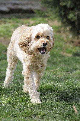 Staten Island, NY - Cockapoo  Meet Bailey a Pet for Adoption