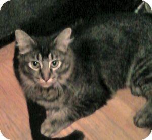 Maine Coon Kitten for adoption in Colorado Springs, Colorado - Marcel