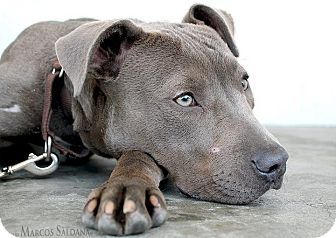 Los Angeles, CA - Pit Bull Terrier  Meet Poppy a Pet for