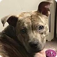 Plott Hound/Pit Bull Terrier Mix Dog for adoption in Bonaire, Georgia - Echo