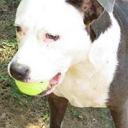 Boxer Puppies for Sale in Dallas Texas - Adoptapet com
