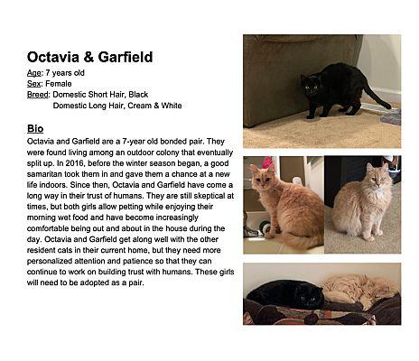 Reisterstown Md Domestic Shorthair Meet Octavia Garfield A Pet For Adoption