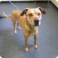 Adopt A Pet :: Bodie - Toledo, OH