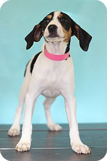 Beagle Mix Puppy for adoption in Waldorf, Maryland - Gauge