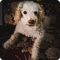 Adopt A Pet :: KiKi - Pierrefonds, QC