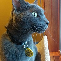 Domestic Shorthair Cat for adoption in South Saint Paul, Minnesota - Charlie Brown