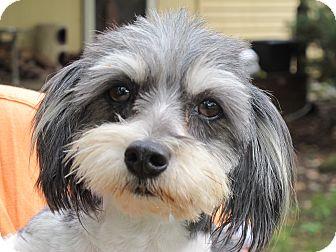 Washington Dc Shih Tzu Meet Bridget A Pet For Adoption