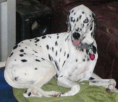 San Antonio, TX - Dalmatian  Meet Pongo a Pet for Adoption