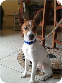 Orlando Fl Rat Terrier Meet Buck A Pet For Adoption