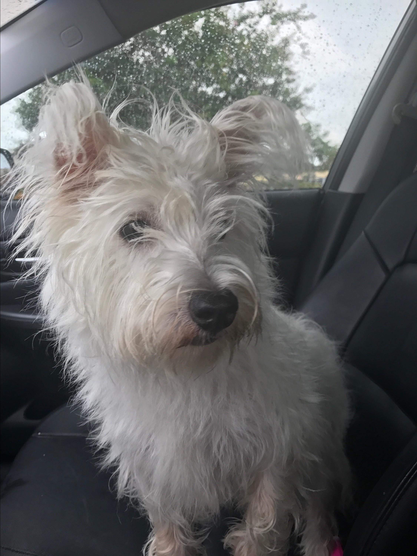 St  Petersburg, FL - Westie, West Highland White Terrier  Meet Paddy