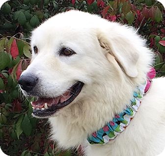 Great Pyrenees Mix Dog for adoption in Evansville, Indiana - Sage