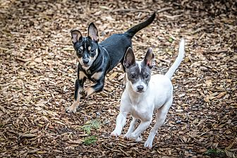Adopt A Pet :: Bandit and Wesson  - Seattle, WA