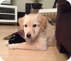Okotoks, AB - Golden Retriever  Meet Chevey a Pet for Adoption