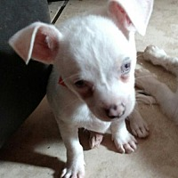 Adopt A Pet :: SNOWDEN - DEAF - WOODSFIELD, OH