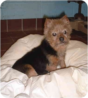 Honesdale Pa Yorkie Yorkshire Terrier Meet Roxanne A Pet For