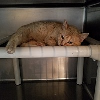 Adopt A Pet :: Sunkist - Geneseo, IL