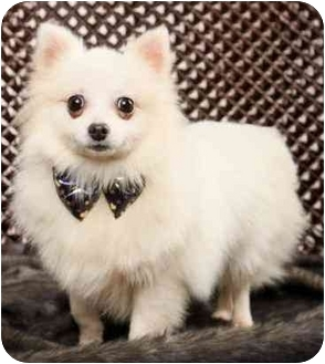 Encino Ca Spitz Unknown Type Small Meet Amy Japanese Spitz