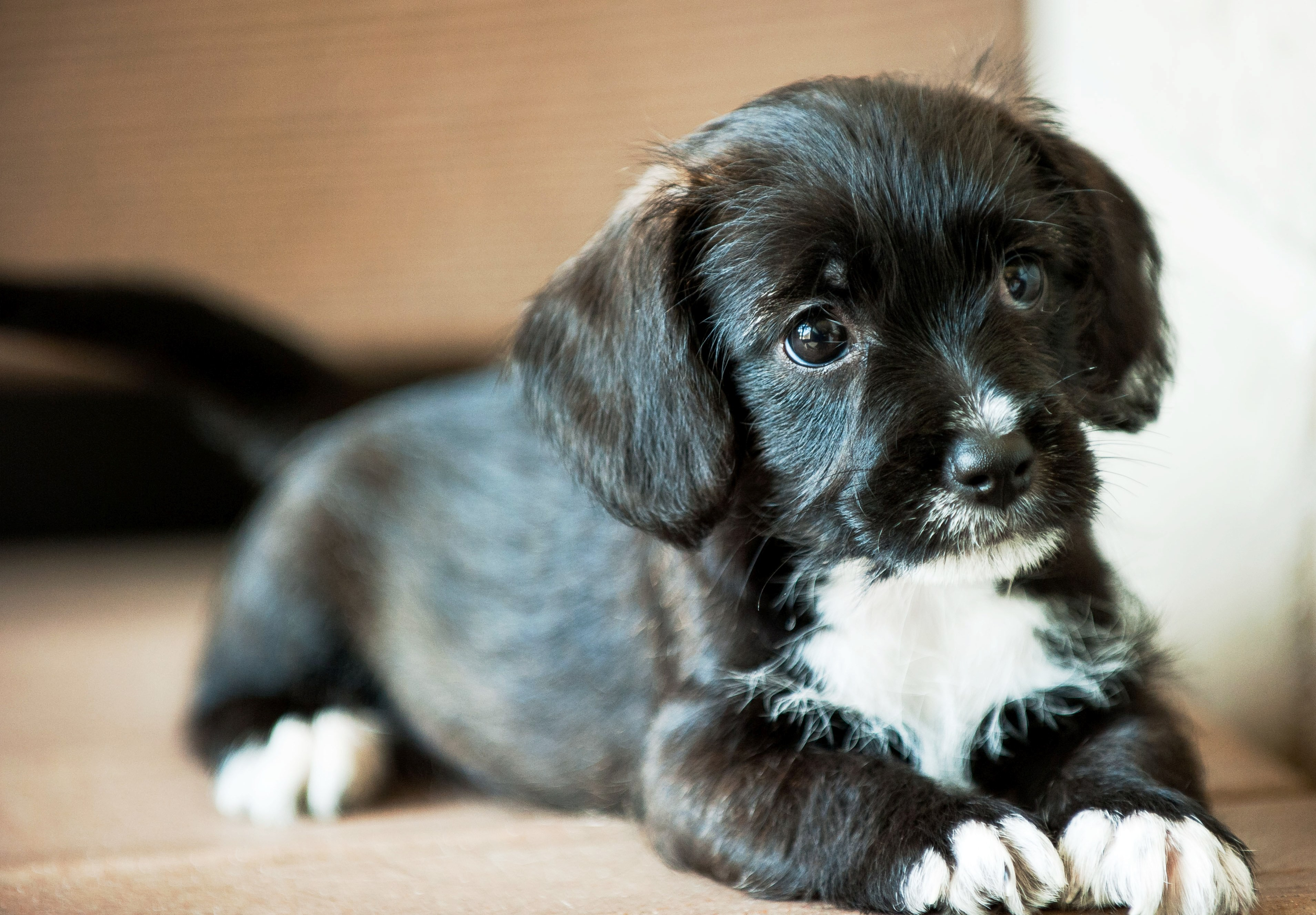 Battle Creek Mi Toy Poodle Meet Bliss A Pet For Adoption
