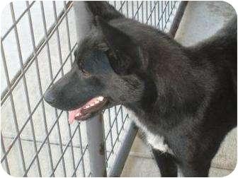 Shepherd (Unknown Type) Mix Puppy for adoption in Ponderay, Idaho - Tibbs