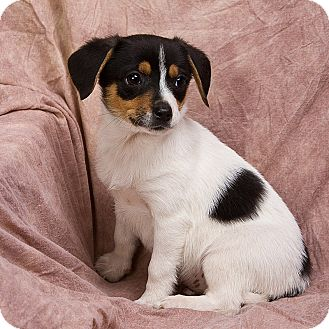Anna Il Jack Russell Terrier Meet Blaze A Pet For Adoption