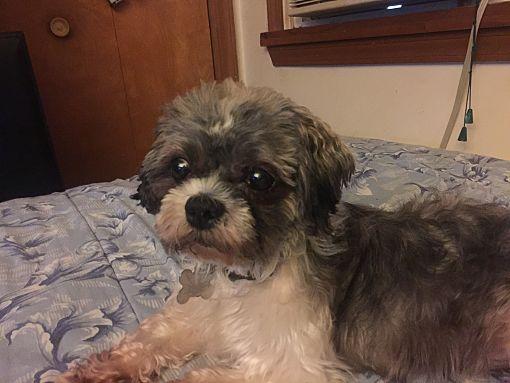 Mentor Oh Shih Tzu Meet Magoo 9yr Adopted A Pet For Adoption