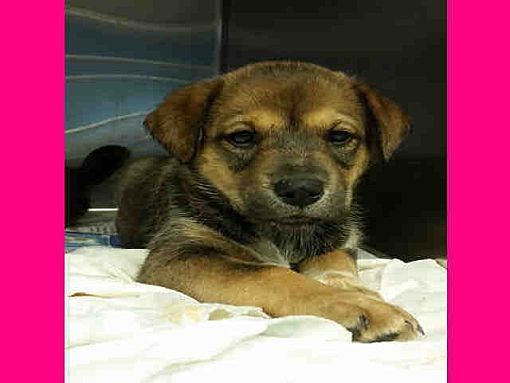 San Antonio Tx German Shepherd Dog Meet Lulu A Pet For Adoption