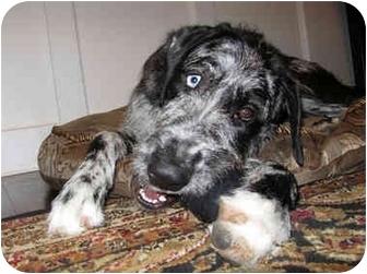 71353859 hanover, md great dane meet alfey a dog for adoption