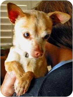 Chihuahua Mix Dog for adoption in Encino, California - PEPE