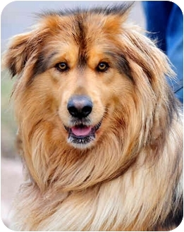 Pawling Ny Tibetan Mastiff Meet Mammoth A Pet For Adoption