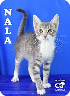 Domestic Shorthair Kitten for adoption in Carencro, Louisiana - Nala