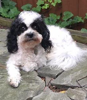 Atlanta Ga Cockapoo Meet Oreo A Pet For Adoption