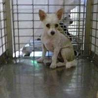 Toy Poodle/Chihuahua Mix Dog for adoption in Austin, Texas - TOBY