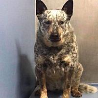 AuCaDo Australian Cattle Dog Rescue Michigan in Remus, Michigan