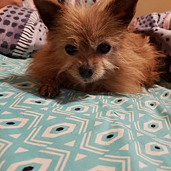 Pomeranian Puppies for Sale in Mississippi - Adoptapet com