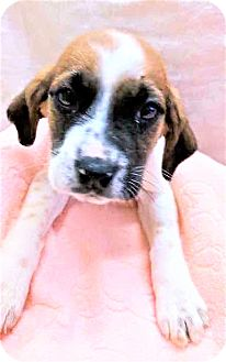 Hound (Unknown Type) Mix Puppy for adoption in Gahanna, Ohio - ADOPTED!!!   Ecuador