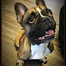 French Bulldog Puppies - Rescue and Adoption Near You