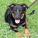 Adopt A Pet :: PUPPY ELLA-BELLE
