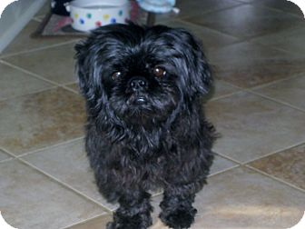 Nashville Tn Shih Tzu Meet Winston A Pet For Adoption