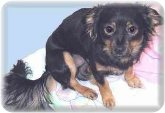 Chihuahua Mix Dog for adoption in Grass Valley, California - Russell