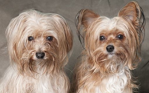 Chicago Il Yorkie Yorkshire Terrier Meet Eddy Teddy A Pet For