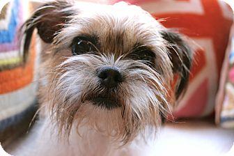 Shih Tzu/Brussels Griffon Mix Dog for adoption in Los Angeles, California - Agatha