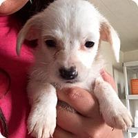 Adopt A Pet :: Maltese Mix Pup 2 - Long Beach, CA
